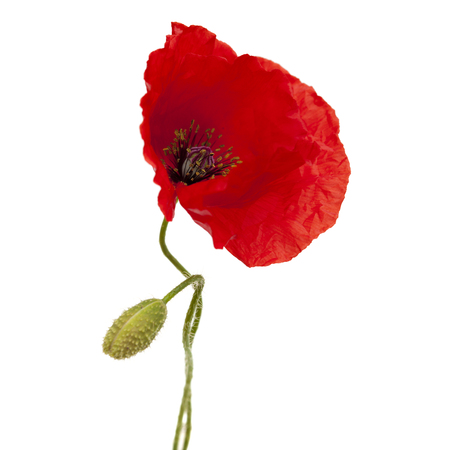 soldiers: bright red poppy flower isolated on white background