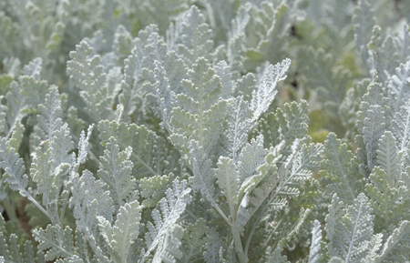 flora of Gran Canaria - Tanacetum ptarmiciflorum, silver leaf plant, endemic to the island 版權商用圖片