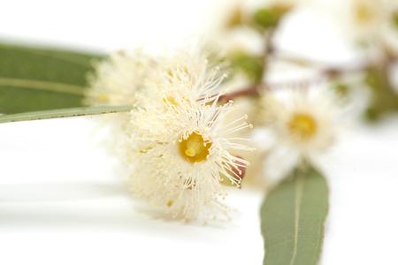flowering Eucalyptus camaldulensis isolated on white background Stock Photo