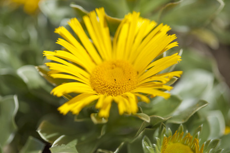 flowering Asteriscus plant natual floral background Stock Photo