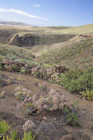 flora of Gran Canaria - pink flowering Aeonium percarneum, endemic of the island, Telde municipality