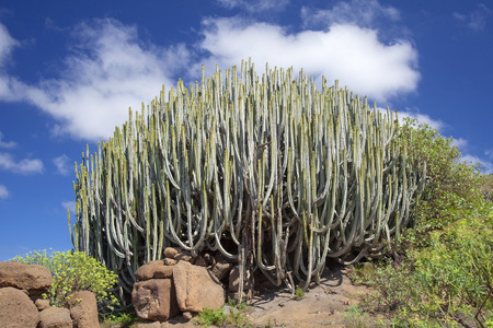 flora of Gran Canaria - huge cluster of Euphorbia canariensis, cactus-like spurge, symbol of the island Stock Photo