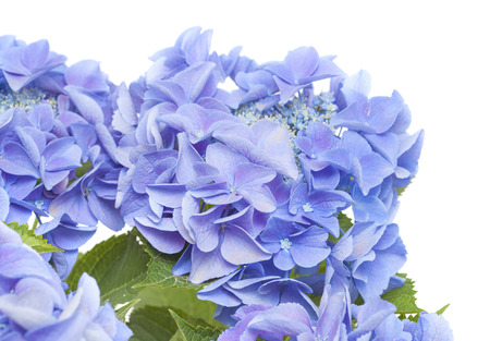 blue Hydrangea isolated on white background