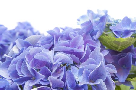 fertile: blue Hydrangea isolated on white background