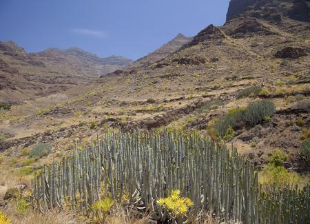 Western Gran Canaria, May, hiking route Tasartico - Playa GuiGui, ravine  Barranco de Guigui Grande, large custers of Euphorbia canariensis