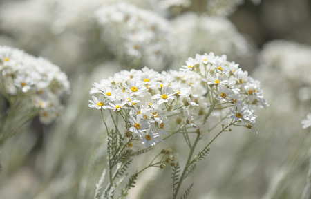 flora of Gran Canaria -  Tanacetum ptarmiciflorum, silver tansy, endemic of the island and endandegerd species, natural floral background Stock Photo