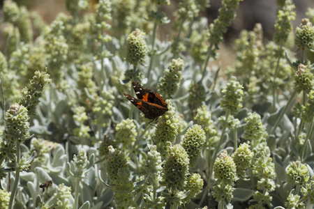 flora of Gran Canaria - Sideritis dasygnaphala, montain tea, flowering period