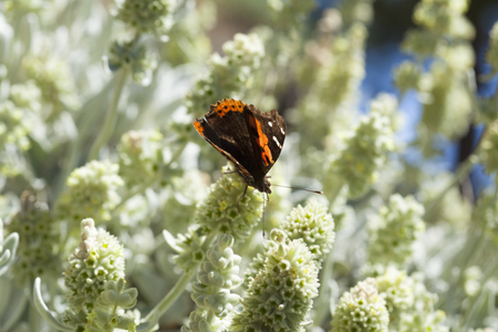 subtropical plants: flora of Gran Canaria - Sideritis dasygnaphala, montain tea, flowering period