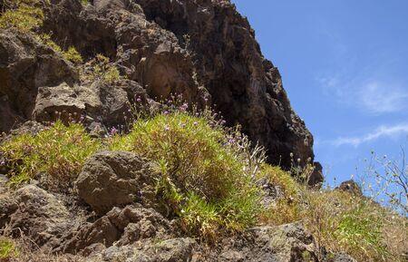 steep: Western Gran Canaria, May, Cheirolophus falcisectus, Aldea centaury, endemic to the island,  flowers in the ravine Barranco de Guigui Stock Photo