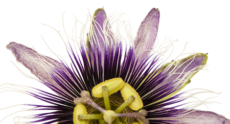 passion fruit flower: purple and white  passionflower isolated on white background