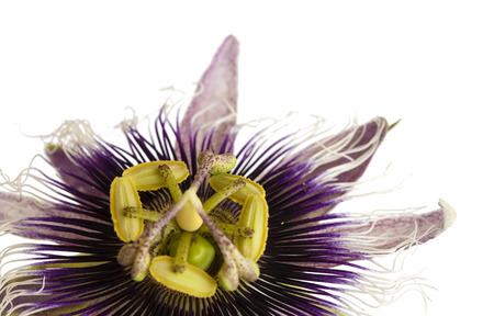 purple and white  passionflower isolated on white background