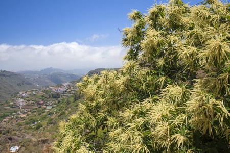 fagaceae: Flora of Gran Canaria - flowering sweet chestnut against blue sky