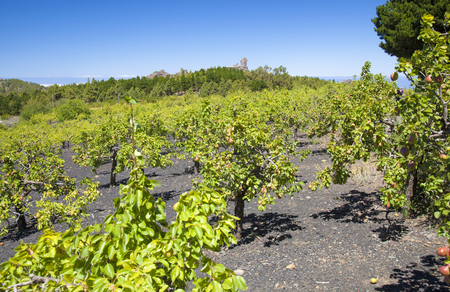 Gran Canaria,  June, orchards of small pear trees in Las Cumbres, the highest areas of the island, trees planted into black volcanic ash, picon Stock Photo