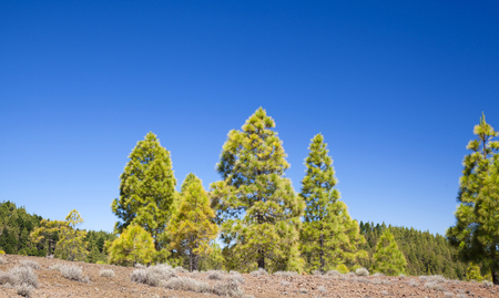 Gran Canaria,  June, Canary Islands Pine trees on the slopes