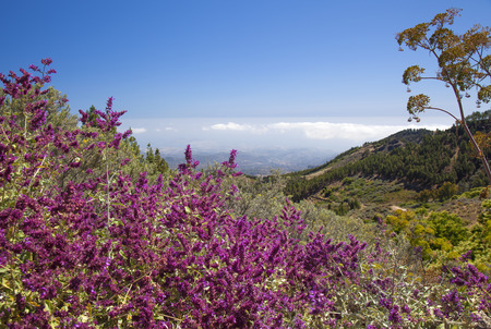 Gran Canaria,  June, Canary Islands sage, Salvia Canariansis, blooming