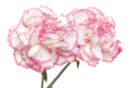 distinct: pretty pink carnation isolated on white background