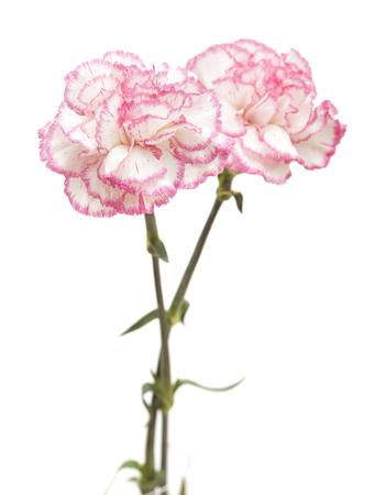 흰색 배경에 고립 된 꽤 핑크 카네이션
