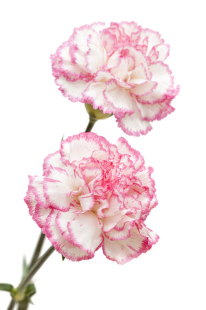 pretty pink carnation isolated on white background