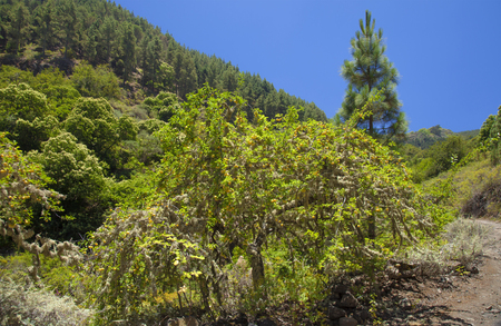 Gran Canaria,  July,   landscape around Valsendero, yellow plum trees with lichen and ripe plums