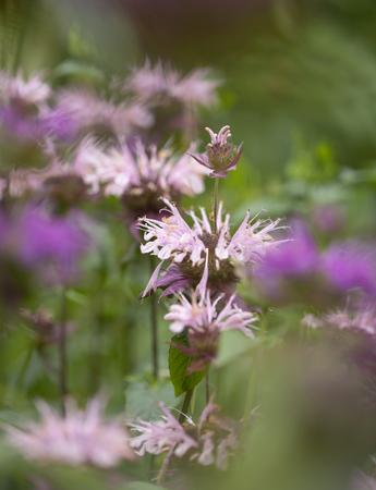 flowering pink Monarda, bee balm, natural floral macro background