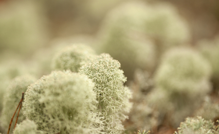 very cold: Natural macro summery background of light reaindeer lichen Stock Photo