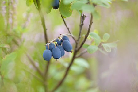 foraging bacground with edible berries, bog bilberry Stock Photo