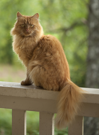 ginger cat sitting on a railing of porch, greenery background