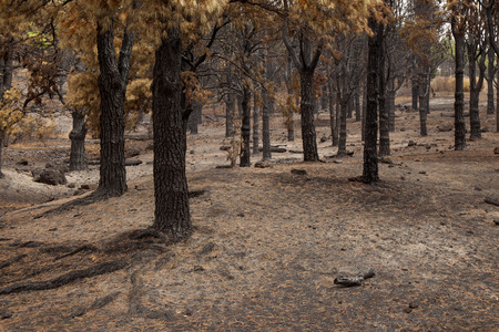 Gran Canaria, Las Cumbres, the highest areas of the island, after forest fire of september 2017, burnt pine forest, yellow needles, black trunks