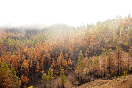 Gran Canaria, Las Cumbres, the highest areas of the island, after forest fire of september 2017, partially burnt pine forest, yellow needles, black trunks, cloud cover on the top makes it pure white Stock Photo