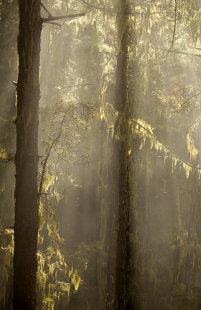 Gran Canaria, Natural Park Tamadaba, humid pine forest in autumn, sun rays in the mist Stock Photo