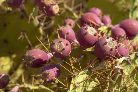 Opuntia stricta ripe purple edible fruit natural background