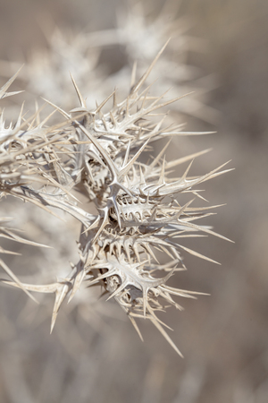 flora of Gran Canaria - dry flowerheads of Scolymus maculatus thistle Stock Photo