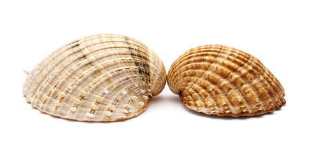 rough cockle, Acanthocardia tuberculata, empty shell isolated on white background Stock Photo
