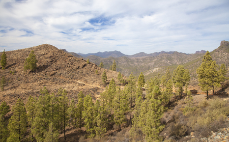 Inland Gran Canaria, Nature reserve Pilancones, sunny day in December, young pine trees in the reforestation zone of old forest fire Stock Photo