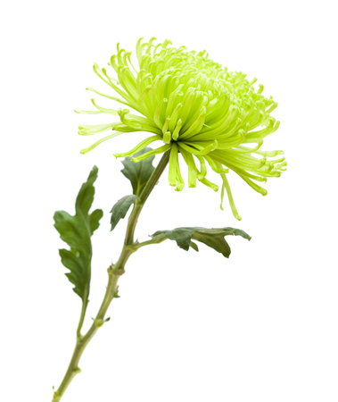 green spider Chrysanthemum flower isolated on white background Stock Photo