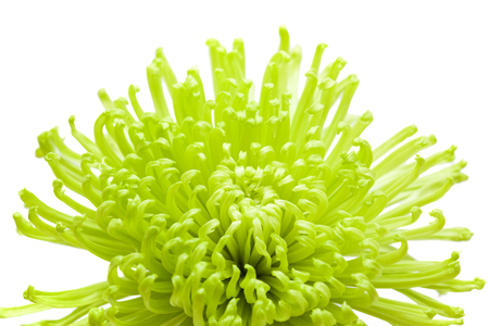 green spider Chrysanthemum flower isolated on white background Banque d'images