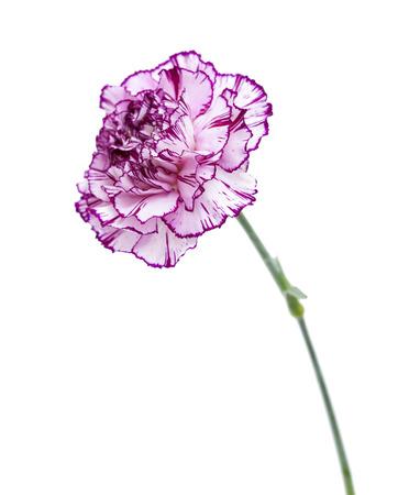 pojedynczy kwiat goździka o nietypowym kolorze - płatki bladego bzu z ciemniejszymi krawędziami