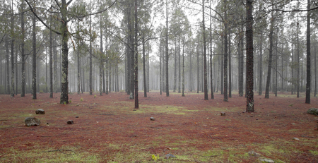 Las Cumbres - the highest ares of the island, fog in pine forest