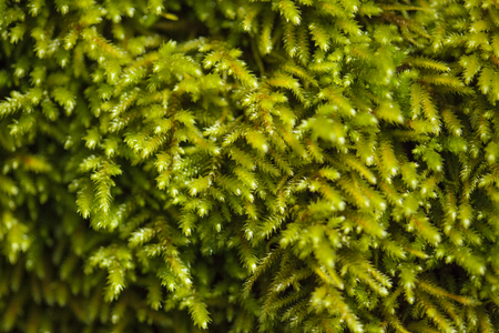 green moss carpet natural macro background