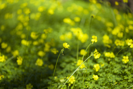 Oxalis pes-caprae natural floral macro background