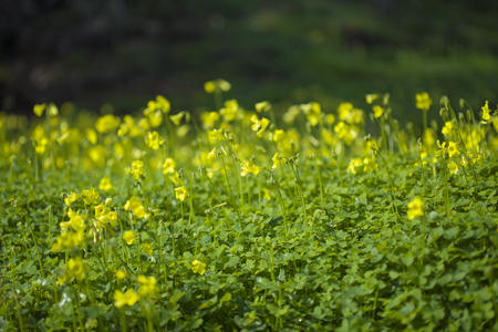 yellow flowers of Oxalis pes-caprae, Bermuda buttercup, invasive species and noxious weed Stock Photo
