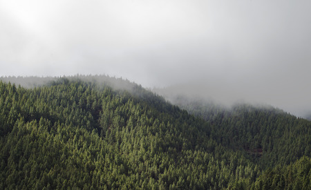 canarian pines in the fog natural landscape background