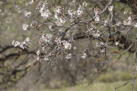 flowering almonds backgound, old tree