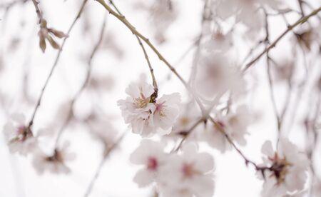 flowering almonds natural seasonal floral background