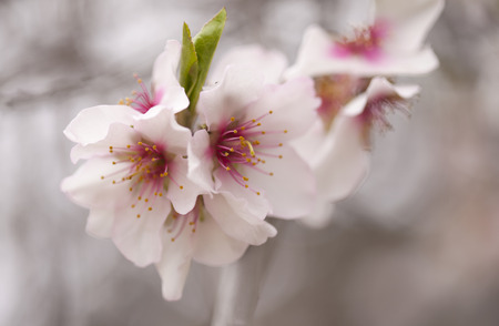 flowering almonds natural seasonal floral background
