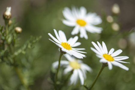 flora of Gran Canaria -  flowering marguerite daisy macro background