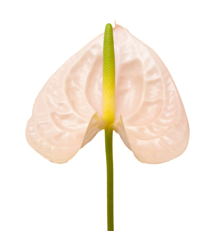 pink Anthurium with yellow-green spadix isolated on white background Stock Photo