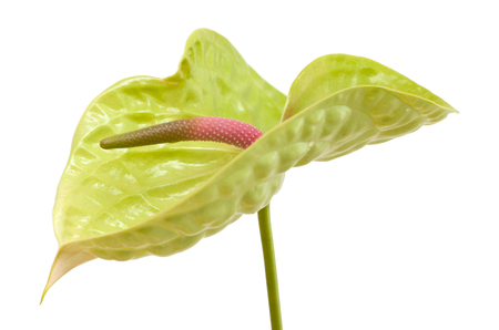 green Anthurium with pink-green spadix isolated on white background