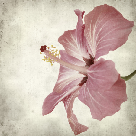 textured old paper background with pink hibiscus flower