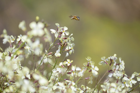 Flora of Gran Canaria - Raphanus raphanistrum, wild radish, white charlock , jointed charlock and a beed of Eucera genus Banco de Imagens